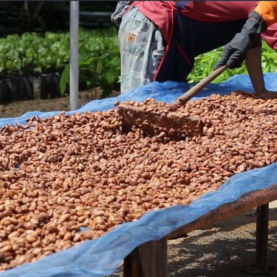 Kakao Bohnen trocknen | ATTIMO ZÜRICH